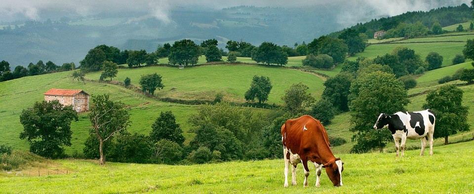 Vacas de Cantabria