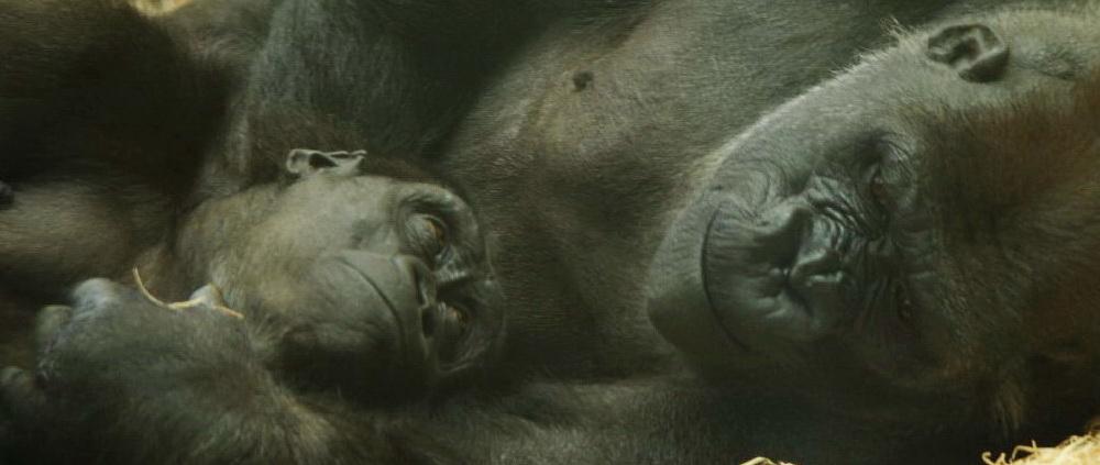 Gorilas de Cabárceno