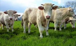 JORNADAS GASTRONÓMICAS  DE LA CHULETA de vaca vieja
